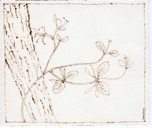 Lonicera japonica003